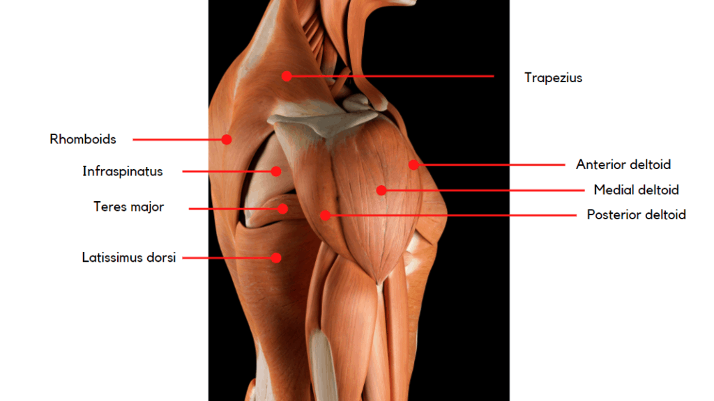 Anatomy of the shoulder and back muscles